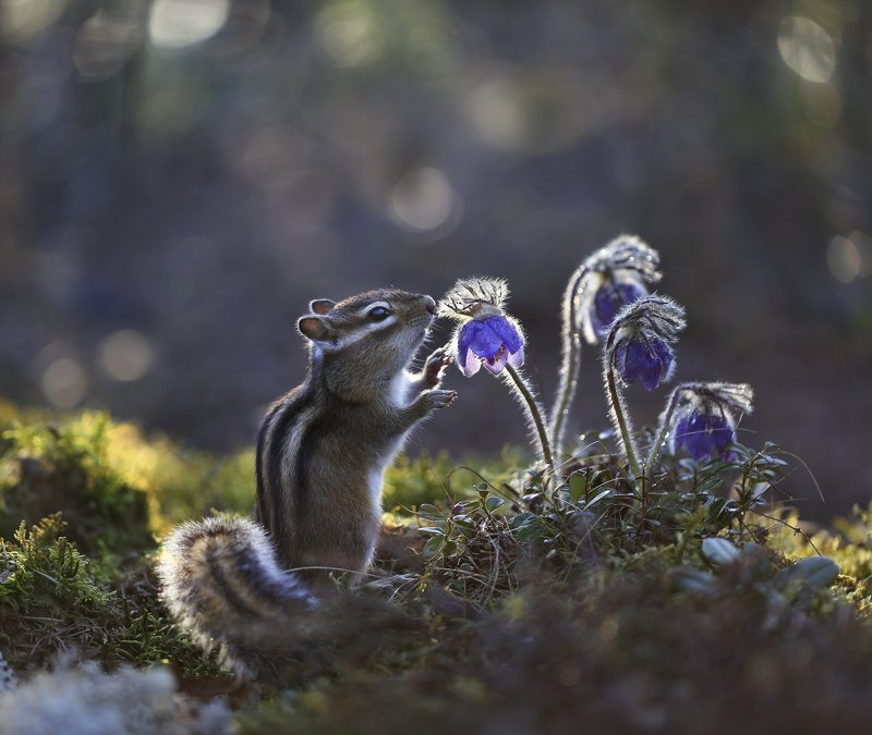 якутия, нерюнгри, бурундук, прострел, сон_трава За простреламиphoto preview