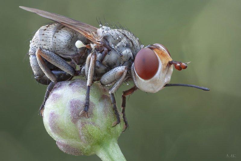 большеголовка, thick-headed fly, conopidae, zodion sp. Крошка большеголовкаphoto preview