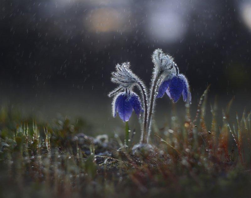 якутия, нерюнгри, прострел, сон-трава, май, гелиос44м-6, helios44м-6 Весенний дождьphoto preview