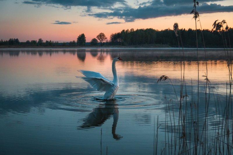 пейзаж птицы закат вода лебедь природа  Танец лебедяphoto preview