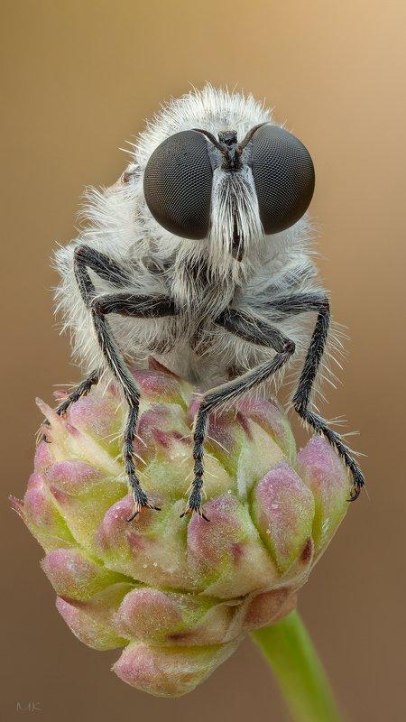 ктрырь,robber fly Ктырь в буркеphoto preview