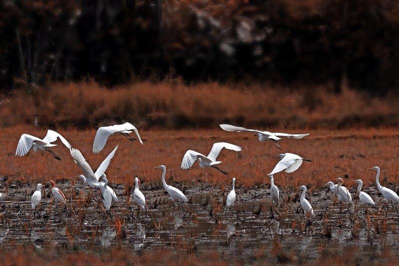 #autum #wildlife #animal #birdingforography A group of white egretsphoto preview