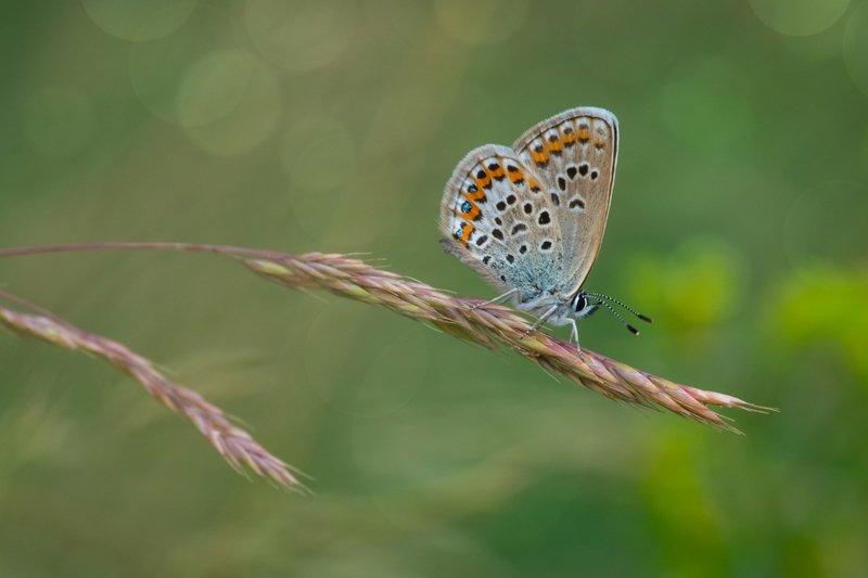 голубянка икар, бабочка, макро, боке, лето, зелень, травинка, жажда, вечер Икарphoto preview