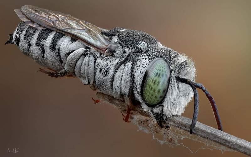 пчелка целиоксис, сoelioxys megachilidae Пчелка целиоксисphoto preview