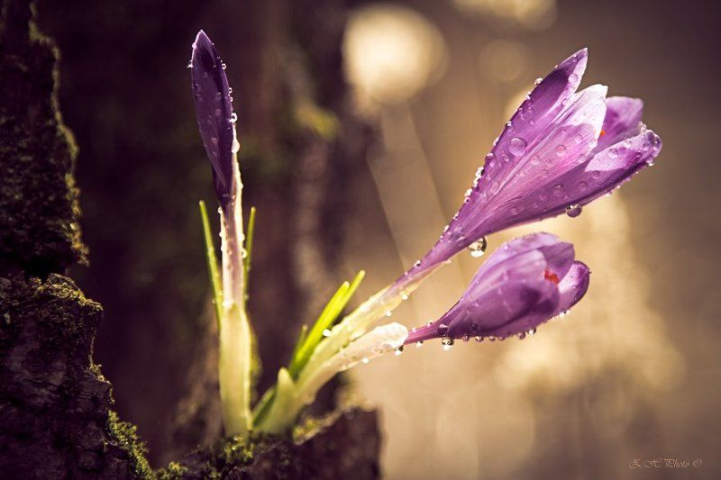 dew, , , , , drops, , , , , bokeh, , , , , crocus Reaching out for the lightphoto preview