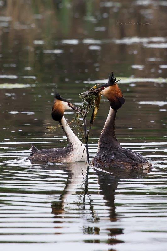 птицы, чомга, природа Брачный период у чомги...photo preview