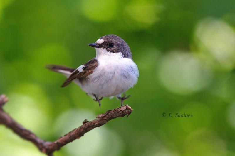 birds,european pied flycatcher,ficedula hypoleuca,мухоловка,мухоловка-пеструшка,птица,птицы,фотоохота Хоба !!!!photo preview