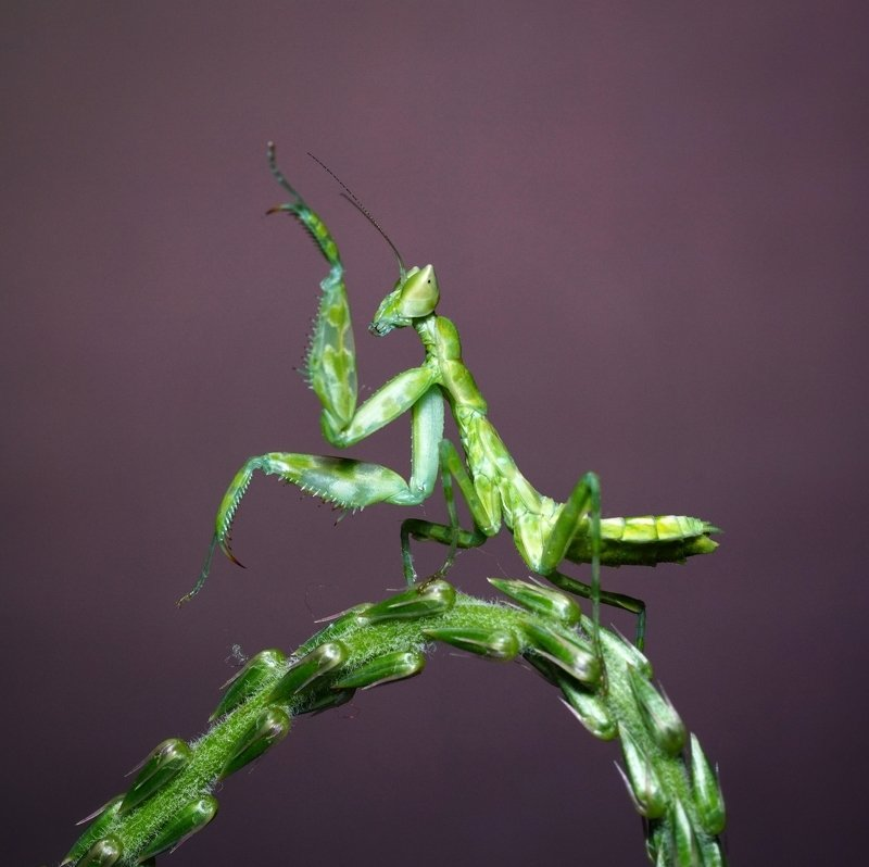 macro, mantis, dancing, green, insect Dancingphoto preview