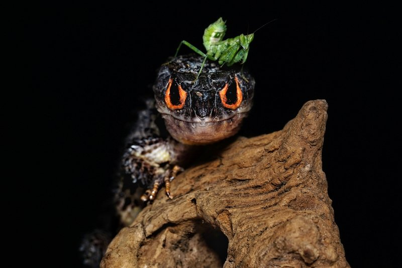 macro, insect, reptile, mantis, crocodileskink, peace, love Peace and Love One Anotherphoto preview
