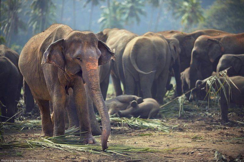 слон, джунгли, шри-ланка Завтрак в джунгляхphoto preview