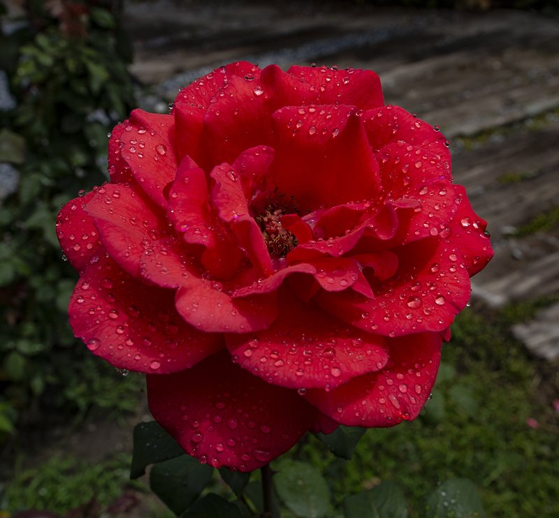 my rosephoto preview