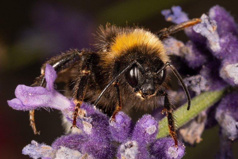 пчела, макро, насекомое Пчёлы.photo preview