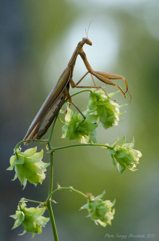 макро, богомол, растение, август, лето, насекомое, дикий хмель Контуры летаphoto preview
