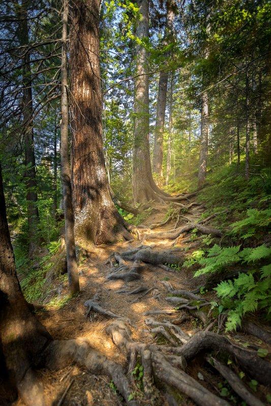 лес, тропа, лето, корни, лучи Лесными тропамиphoto preview