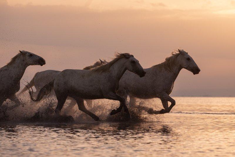 Camargue horses.photo preview