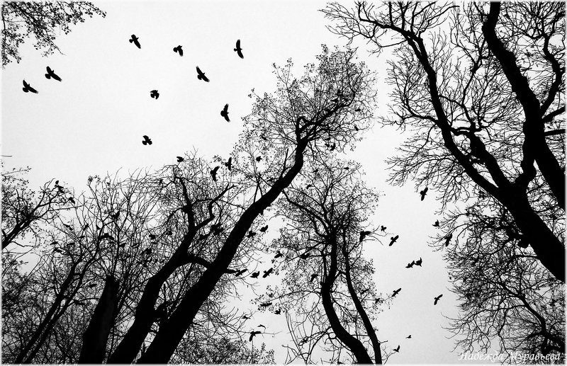 птицы, грачи, черно-белое Птицыphoto preview