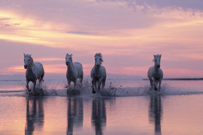 camargue horses sunrise Camargue horses.photo preview