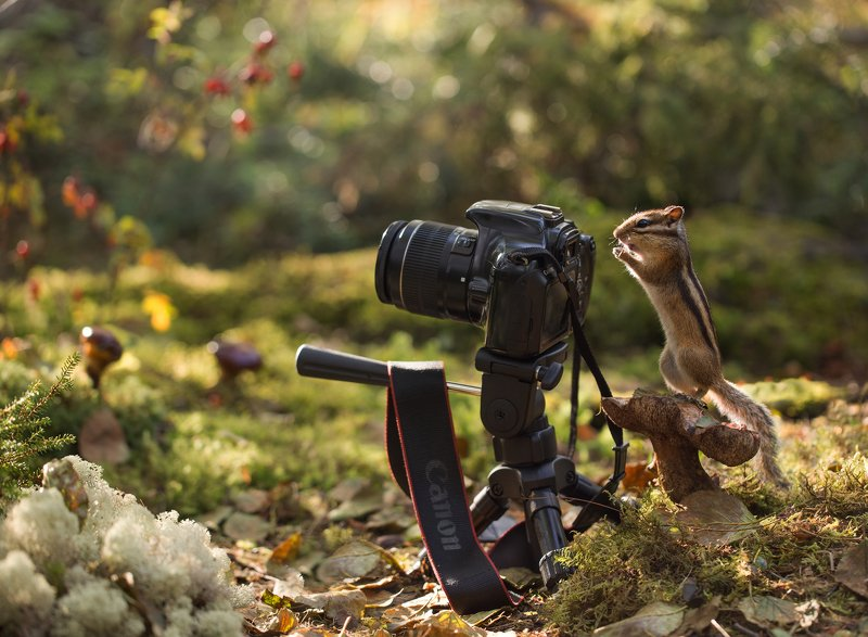 якутия, нерюнгри, бурундук, фотокамера С Днем Фотографа!photo preview