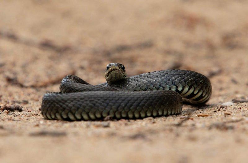 уж, змеи, пресмыкающиеся, Медитацияphoto preview