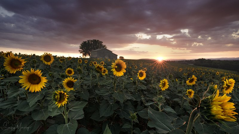 sunset sunflowers provence Sunset in Provence.photo preview