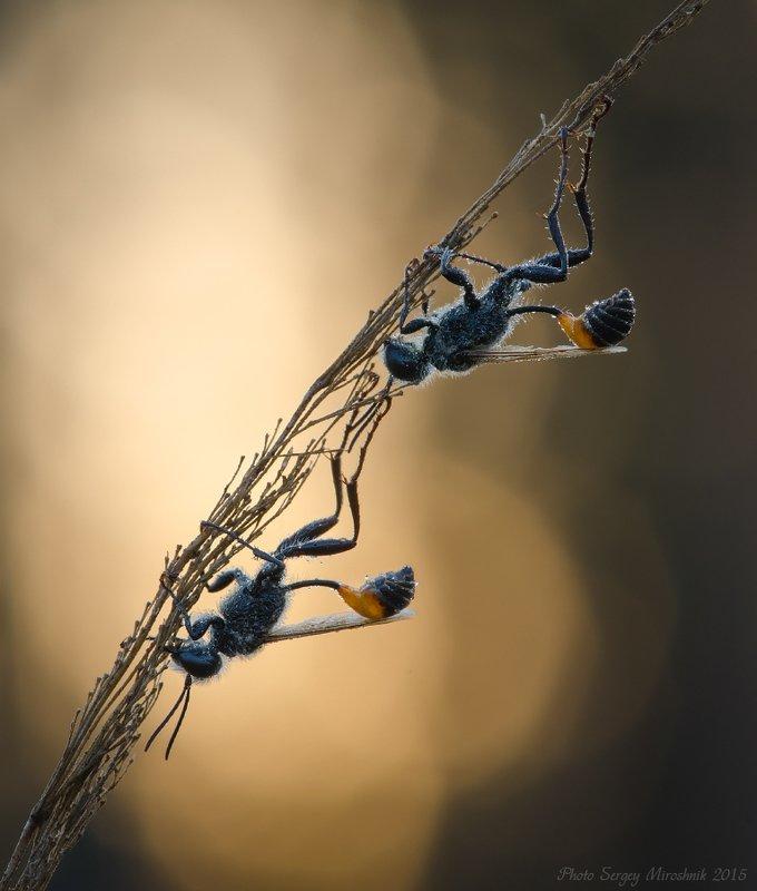 макро, оса, утро, лето, насекомое, растение Сон вниз головойphoto preview