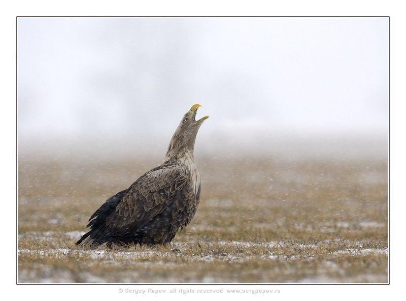орланы-белохвосты, дикая природа Когда же весна?photo preview