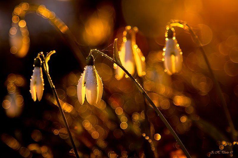 sunset, rain, drops, bokeh, golden, snowbells Snowbells in sunsetphoto preview