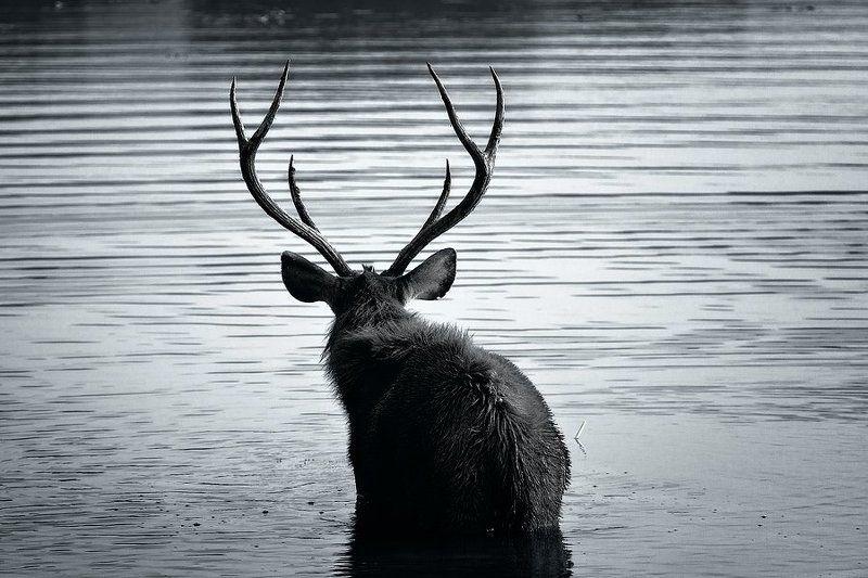 Sambar deerphoto preview