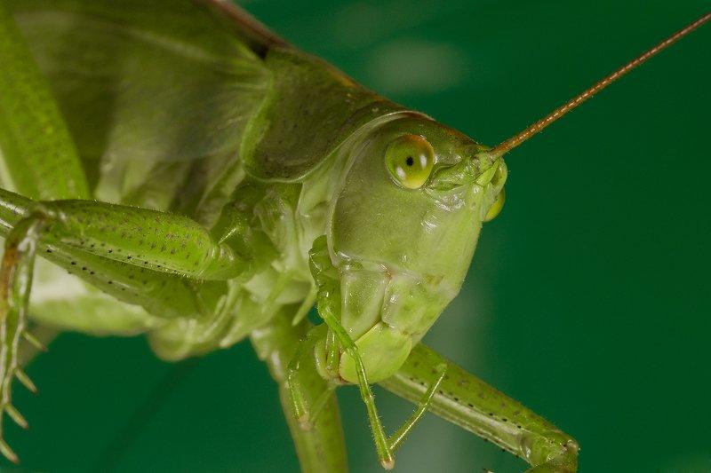 кузнечик, насекомое, макро Единорогphoto preview