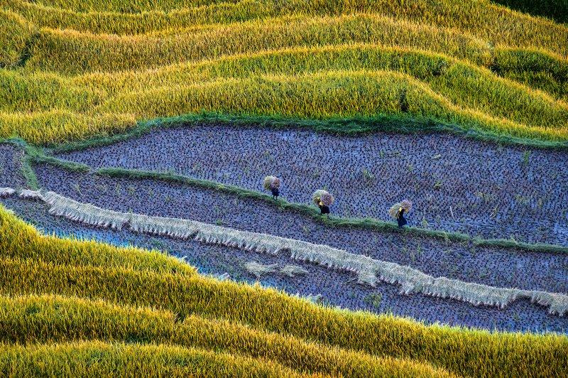 Golden harvestphoto preview