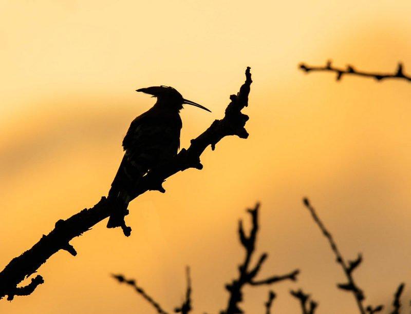 удод, птицы, рассвет, силуэт, Удод на рассветеphoto preview