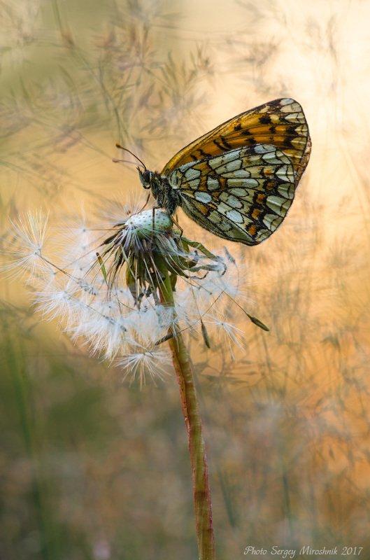 макро, бабочка, растение, июль, лето, насекомое, одуванчик, вечер, закат В вечернем пленуphoto preview