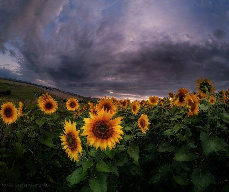 подсолнухи, закат, горы, пятигорск, ессентуки, лето Солнечное мореphoto preview