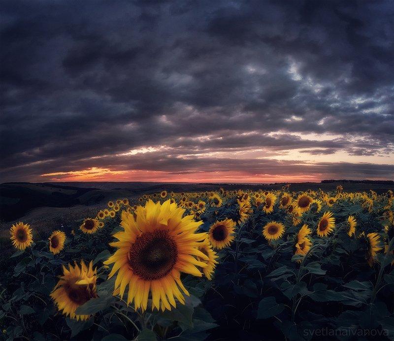 подсолнухи, закат, горы, пятигорск, ессентуки, лето Ловец солнцаphoto preview