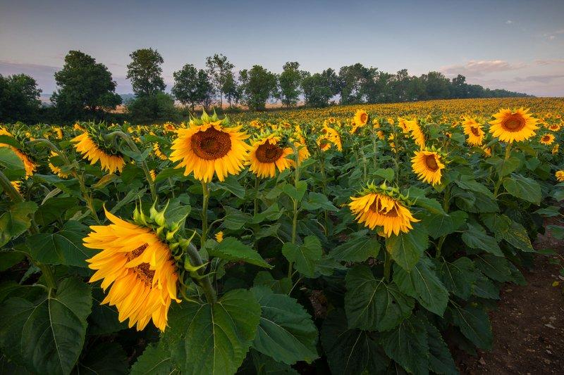 sunflowers, słoneczniki, polska, rydzewski, zawiercie, 35photo.pro, 35photo,canon,6d, nature, landscape,silesia,zawiercie,  Sunflowersphoto preview