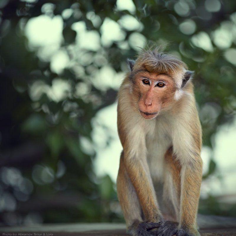 макак, обезьяна, шри-ланка, цейлон Принес чего-нибудь?photo preview