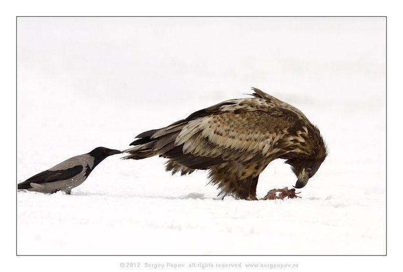 орлан-белохвост, фотографии дикой природы Эй!  Дай кусочек!photo preview