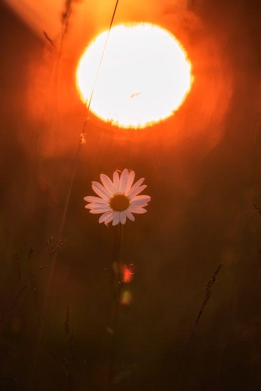 ромашка, цветы, закат,березы раз-ромашка, два-ромашка....photo preview