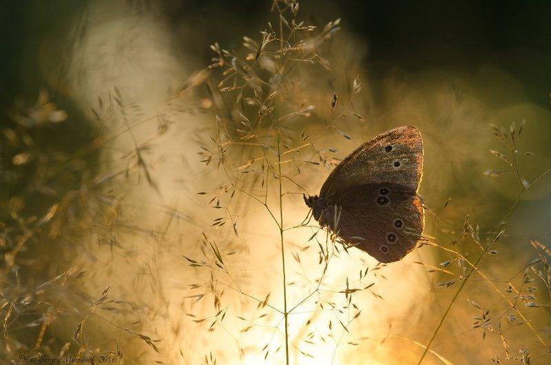 макро, бабочка, лето, красиво, растение, насекомое, вечер, закат, украина Подсвеченные крыльяphoto preview