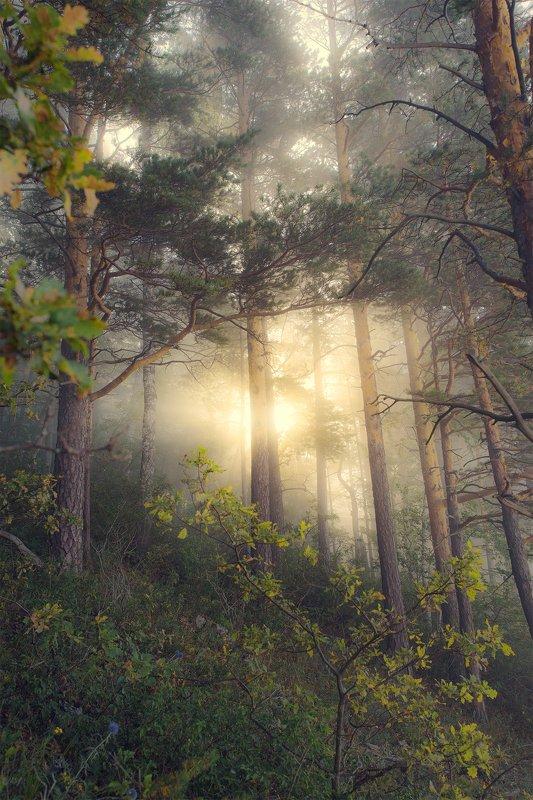 утро, туман, рассвет, лес, золотой свет Солнце сквозь туманphoto preview