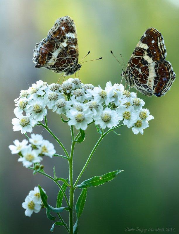 макро, бабочка, растение, июль, лето, насекомое, цветок Июльские зарисовкиphoto preview