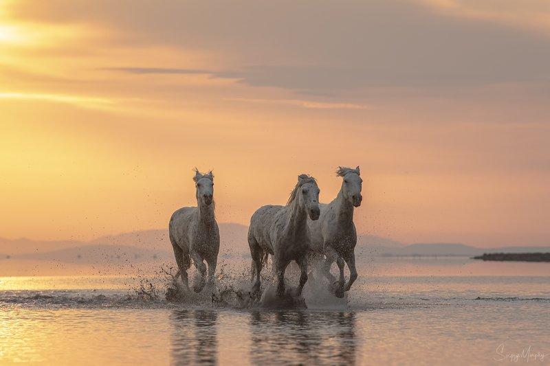 camargue horses. Camargue horses.photo preview