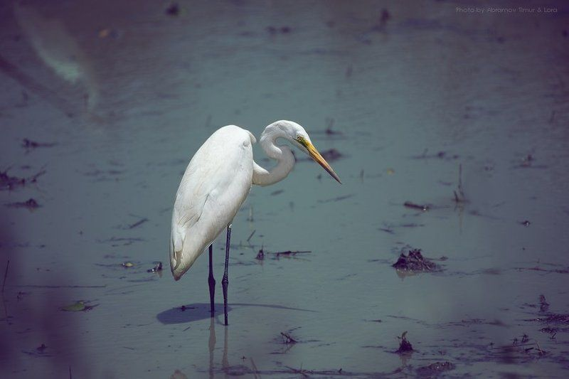 цапля, птица, озеро, шри-ланка, цейлон Белая цапляphoto preview
