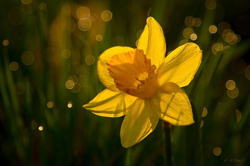 yellow, sunrise, dew, sun, bokeh, green, narcissus Little Sunphoto preview
