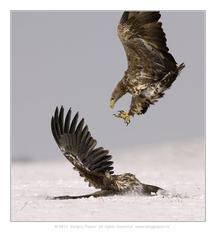 белохвостый орлан, фотографии дикой природы Штыковая атакаphoto preview