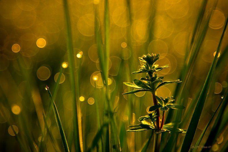 sunrise, morning, dew, bokeh, golden, grass, green I\'m differentphoto preview