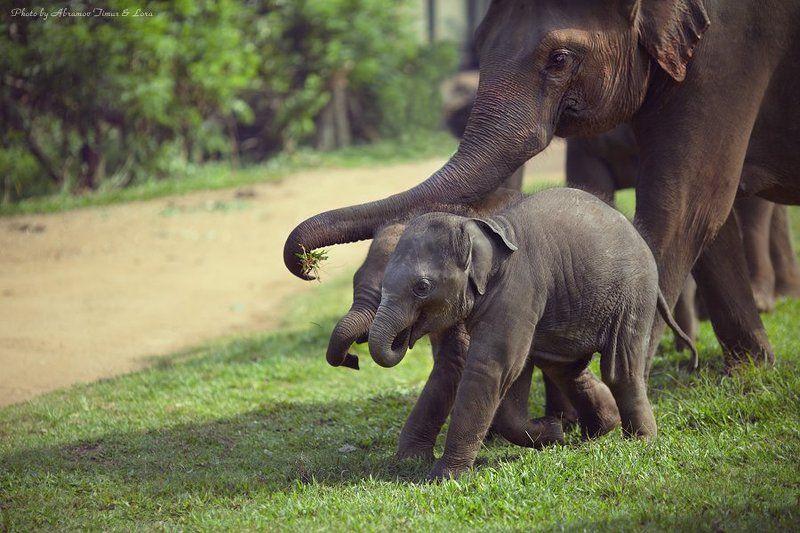 слон, слоненок, шри-ланка, цейлон, пиннавела, питомник Слоны Пиннавелыphoto preview