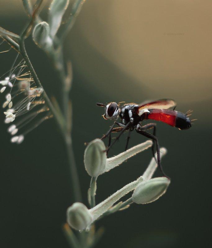 насекомые, природа, макро, мухи, насекомое, макрофото, insect, insets, macro, nature Цилиндромия средняя (Cylindromyia intermedia)photo preview