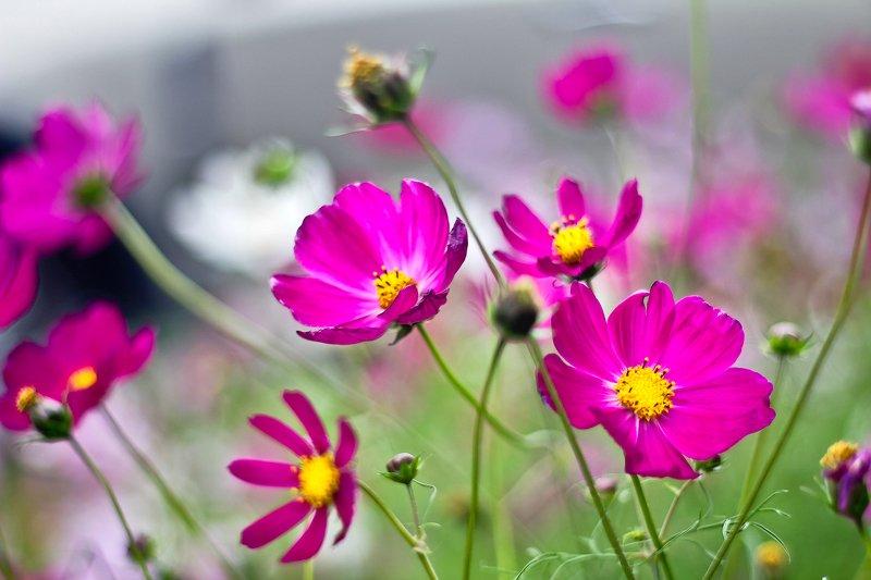 цветы, лето, космея, цветок космеяphoto preview