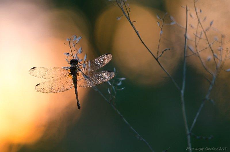 стрекоза, вечер, закат, солнце, макро, красиво, растение Вечерняяphoto preview